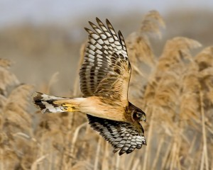 Northern Harrier. Photo credit: National Wildlife Federation
